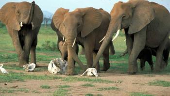 elephants-mourn